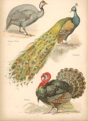 guineafowlpeacock.jpg